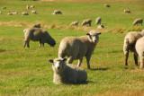 Sheep near Waiouru