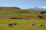 Sheep country south of Mt Ruapehu