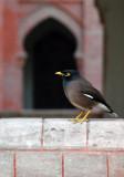 Shalik, the Common Myna (Acridotheres tristis) Dhaka University