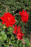 Red flowers, Dhaka University