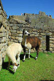 Machu Picchu's lawnmowers