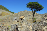 Tree growing among the ruins, Machu Picchu
