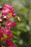 Honey bee on Crepe Myrtle