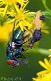 Pennsylvania Ambush Bug with Blow Fly Prey