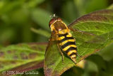 Syrphid (Hover) Fly