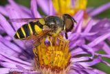 Transverse Flower Fly (female)