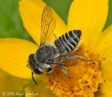 Small Leaf-cutter Bee (female)