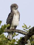 Beaudouin's Snake-eagle  Circaetus beaudouini