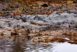 Serengeti Lobo