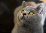 Archie, British blue kitten