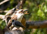 Kookaburra with noisy miner bodyguards!