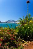 Sydney Harbour with gymea lily - Balmain