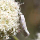 2368 – Ypsolopha angelicella