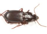 Pterostichus, subgenus Hypherpes