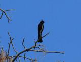 Silky Flycatchers