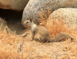 California Ground Squirrel - Spermophilus beecheyi
