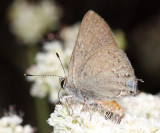 Hedgerow Hairstreak - Satyrium saepium