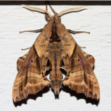 7824 -- Blinded Sphinx -- Paonias excaecata