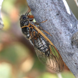 Okanagana mariposa