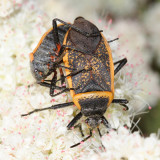 Bordered Plant Bugs - Largidae