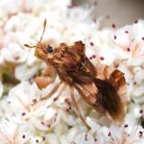 Phymata pacifica