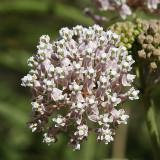 Narrow-leaf Milkweed - Asclepias fascicularis