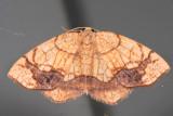 7010 - Horned Spanworm Moth - Nematocampa resistaria