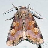 9414 - Oligia violacea