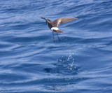 Wilson's Strrm-Petrel - Oceanites oceanisus