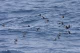 Wilson's Storm-Petrel - Oceanites oceanisus