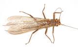 Acroneuria lycorias