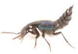 Philonthus caeruleipennis
