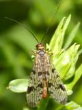 Panorpa latipennis
