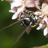 Vespula consobrina (Blackjacket)