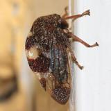 Cyrtolobus tuberosus