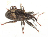 Conotrachelus juglandis