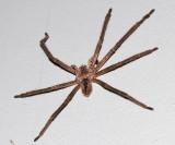 Giant Crab Spider - Sparassidae - Olios sp.