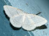 6266 - Protitame subalbaria