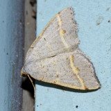 6301 - Macaria guenearia
