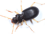 Nebria pallipes