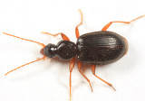 Ground Beetles - Tribe Atranini