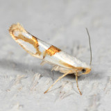 2467 - Cherry Shoot Borer - Argyresthia oreasella