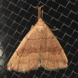 8362 - Pale Phalaenostola - Phalaenostola metonalis