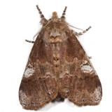 8300 - Cinnamon Tussock Moth - Dasychira cinnamomea