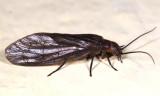 Alderfly - Sialidae - Sialis sp.