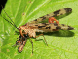 Panorpa mirabilis
