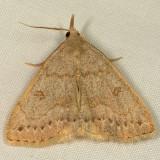 8355 - Morbid Owlet - Chytolita morbidalis