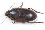 Anisodactylus anthracinus