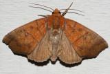 8547 - Hibiscus Leaf Caterpillar Moth - Anomis commoda