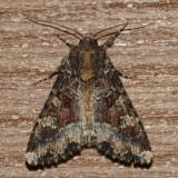 9348 - Yellow-headed Cutworm - Apamea amputatrix